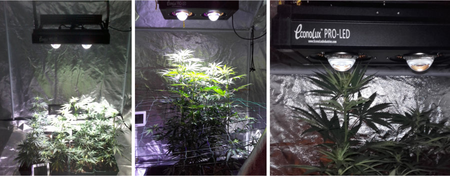 French Cannabis Grow Test at various stages